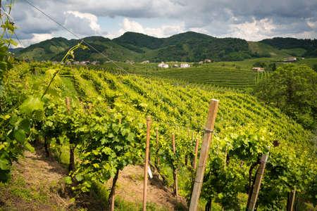 Prosecco vineyards, Valdobbiadene Treviso - Italy