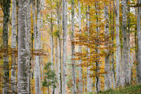 Beech forest in autumn, Cansiglio Italy forest.