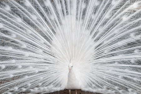 swagger: white peacock close up