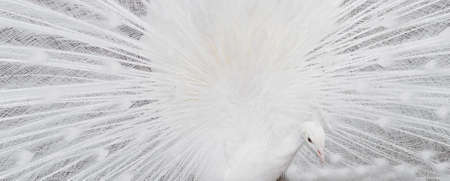 the distinguished: white peacock feathers showing banner Stock Photo