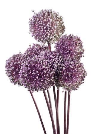 allium: Allium isolated