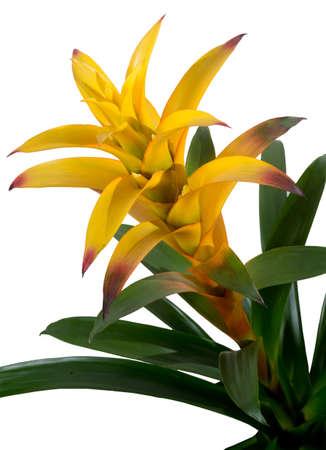 guzmania: Bromelia guzmania yellow detail isolated Stock Photo