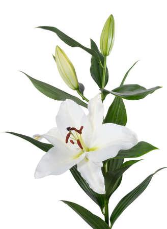 orient: Lilium Orient flower isolated Stock Photo