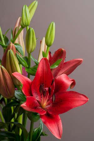 orient: lilium Orient red flower