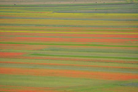 castelluccio: Lentils field on of the plain of Castelluccio in Italy Stock Photo
