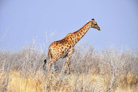 Giraffe in Etosha National Park, Namibia photo