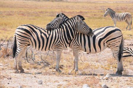 African Zebra family photo