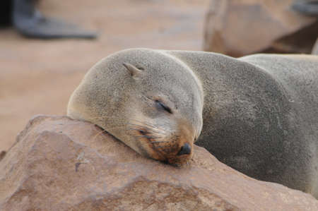 Seal resting on the beach in Skeleton Coast, Namibia, Africa. photo