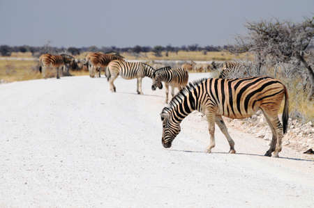 burchell: Zebras on the road in Etosha National Park Stock Photo