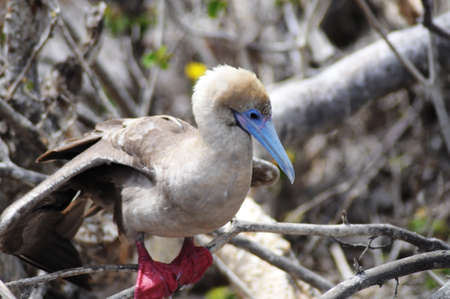 booby: Red-footed Booby (Sula sula websteri)