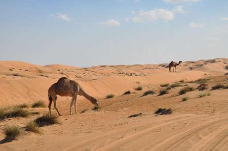 arab beast: singlehumped camel in Oman desert