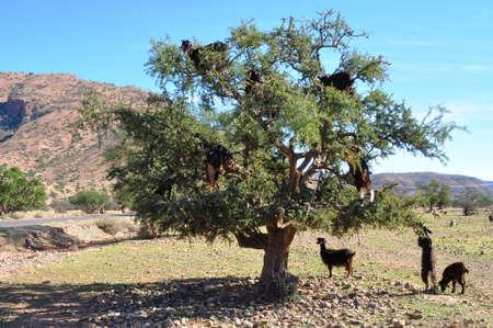 Moroccan goats in an Argan tree Argania spinosa eating Argan nuts