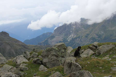 looking at viewer: dog on the edge of the cliff with its back turned to viewer looking down with mountain peaks in the background in Breuil-Cervinia, Italy Stock Photo