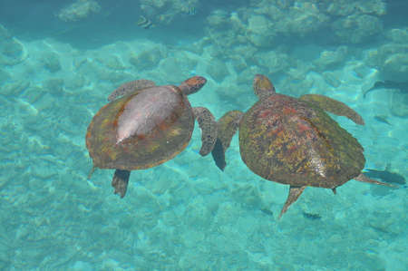 sea animal: Sea Turtles swimming