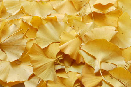 background with leaves of ginkgo biloba yellow photo