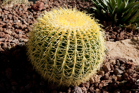 Cactus in its natural environment, Echinopsis bruchii. Banco de Imagens