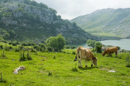 Cows grazing in a meadow with a lake and mountains Banco de Imagens - 120659263