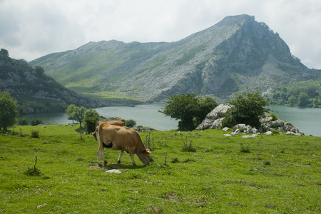 Cows grazing in a meadow in a landscape with lake and mountains Banco de Imagens