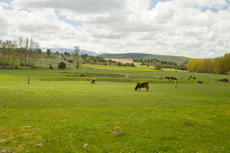 Cows grazing in a meadow at a semi-cleared day in a landscape Banco de Imagens