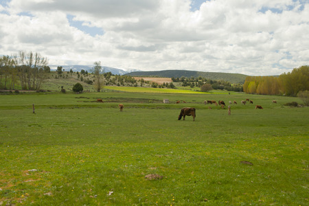 cows grazing in a meadow a semi-cleared day in a landscape Banco de Imagens