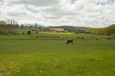 cows grazing in a meadow a semi-cleared day in a landscape Banco de Imagens - 120659201
