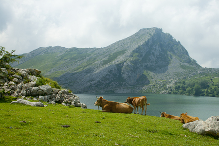 Cows grazing in a meadow a semi-cleared day in a landscape with lake and mountains Banco de Imagens - 120659204