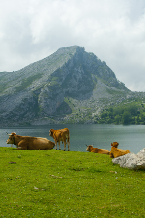 Cows grazing in a meadow a semi-cleared day in a landscape with lake and mountains Banco de Imagens