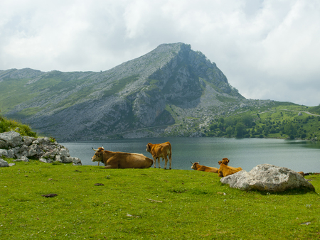 Cows grazing in a meadow a semi-cleared day in a landscape with lake and mountains Banco de Imagens - 120659208