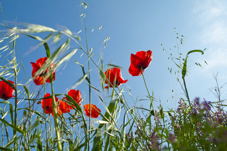Poppies with blue sky background