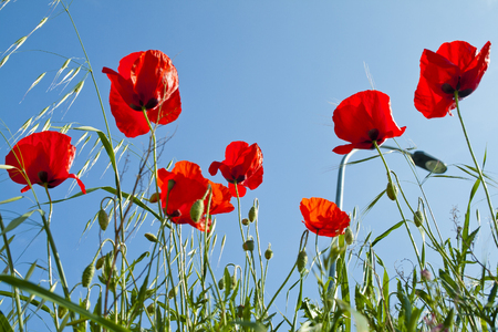 Poppies in a wild meadow with blue sky background