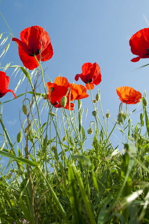 Poppies in a wild meadow with blue sky background Banco de Imagens - 120659230
