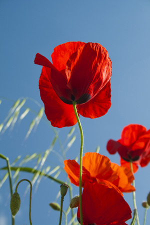 Poppies with blue sky background. Banco de Imagens