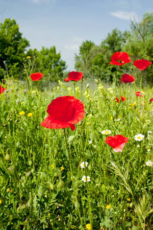 Poppies in a wild meadow. Banco de Imagens - 120659232