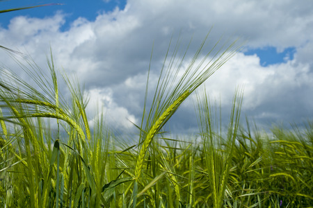 Sunny green barley with cloudy sky background