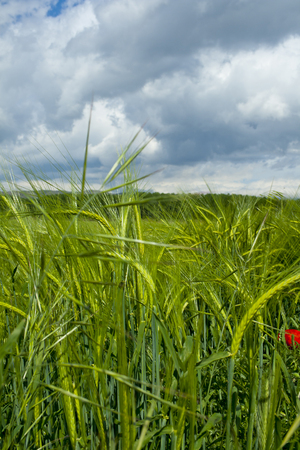 Barley with cloudy sky background Banco de Imagens