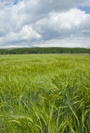 Green barley with cloudy sky background Banco de Imagens