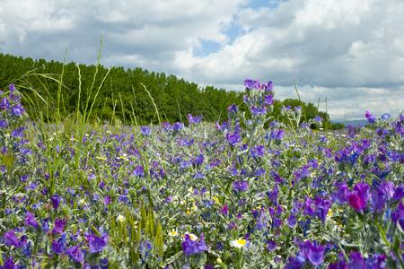 Violettes sur une journée de printemps ensoleillée avec fond de ciel nuageux