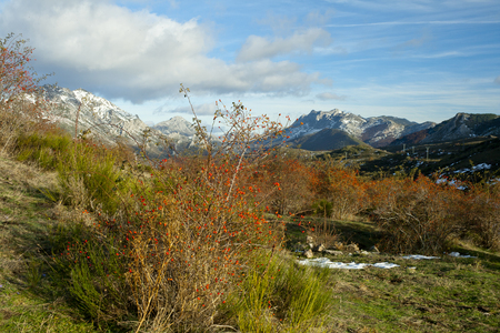 Rose hip plant with red fruits against a mountains landscape in autum