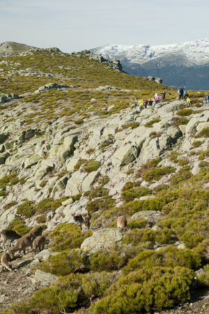 hikers taking pictures of a herd of wild goats at guadarrama range national park in Spain