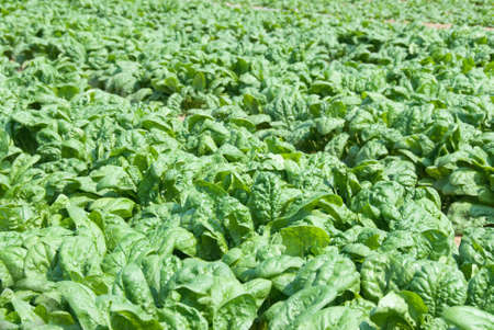 organic spinach in a field ready for picking. Shallow DOF with focus near front of image.