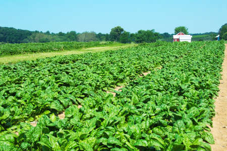 field of organic spinach with out buildings in the background.