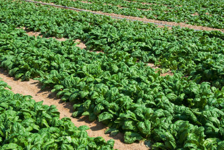 field of organic spinach growing on a farm.  Stock Photo