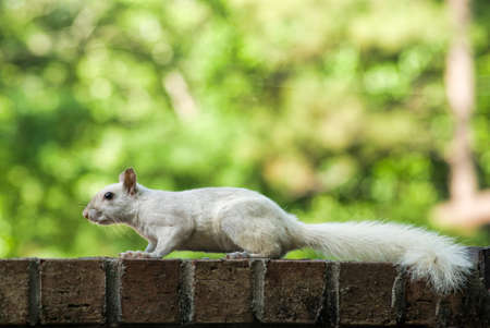 ga: friendly white leucistic squirrel spotted in Columbus, GA Georgia USA.