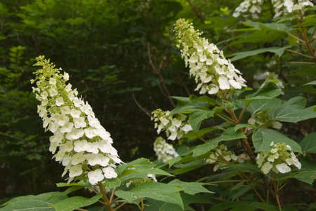 leaved: white showy flowers of the oakleaf hydrangea also known as oak leaved hydrangea also known as hydrangea quercifolio. this native plant grows exclusively in the southern United States in woodland habitats. It is a deciduous shrub. Selective focus on the fl