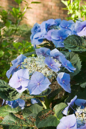 hydrangeaceae: blue hydrangea flowers growing in a southern USA garden during the springtime month of April. AKA as hydrangeaceae and hortensia. The flower heads are different shades of blue and some are purple. This image was shot outdoors in a backyard garden in natur Stock Photo