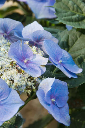 hydrangea macrophylla: blue hydrangea flowers growing in a southern USA garden. This image was shot outdoors on a beautiful springtime morning. the camera angle shows the flatness of the flower heads. also called hydrangea macrophylla in the hydrangeaceae family. Hortensia is a