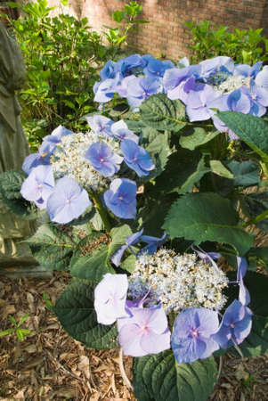 hydrangeaceae: Blue hydrangea macrophylla in the genus hydrangeaceae in a southern USa garden during the month of April. this beautiful shrub has showy flowers in shades of blue, light purple and pink. Stock Photo