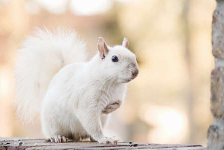 trait: White squirrel with the genetic trait called leucism. This is a male squirrel and he is at least three years old. This squirrel lives in Columbus, Georgia USA.
