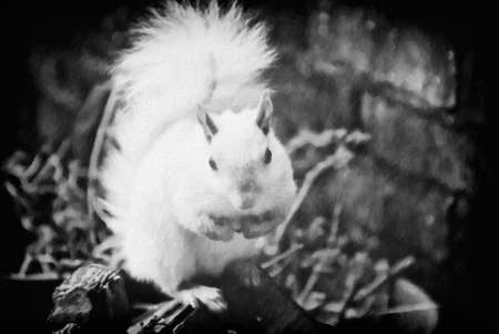 albino: White leucistic Eastern gray squirrel in black and white. This handsome male squirrel is at least three years old. This is computer generated art from a photograph.