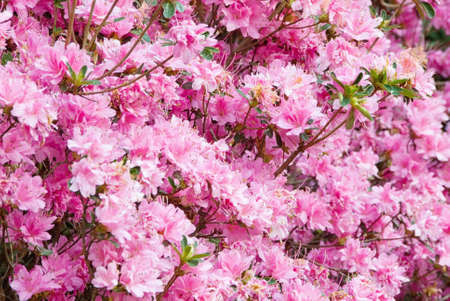 ga: Close-up of pink azalea flowers  in full bloom at Callaway Gardens in Pine Mountain GA USA. Stock Photo